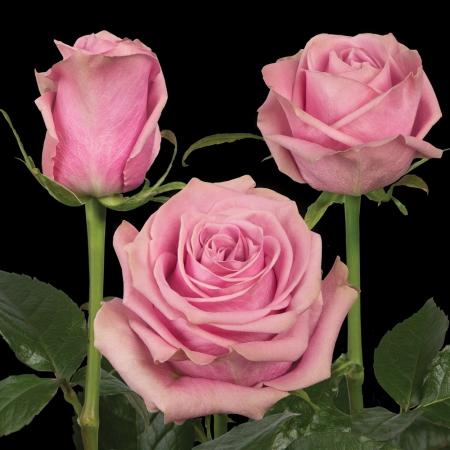 Scandal rose Plantec