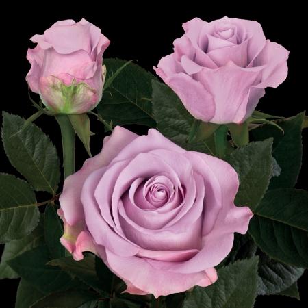 Star Platinum rose Plantec